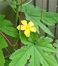 07_05ゴーヤの花.jpg